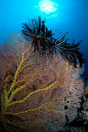 Seafan and crinoids