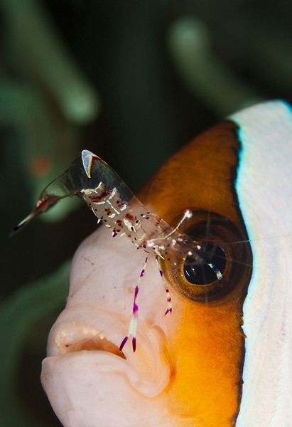 Anemonefish and Commensal Shrimp II
