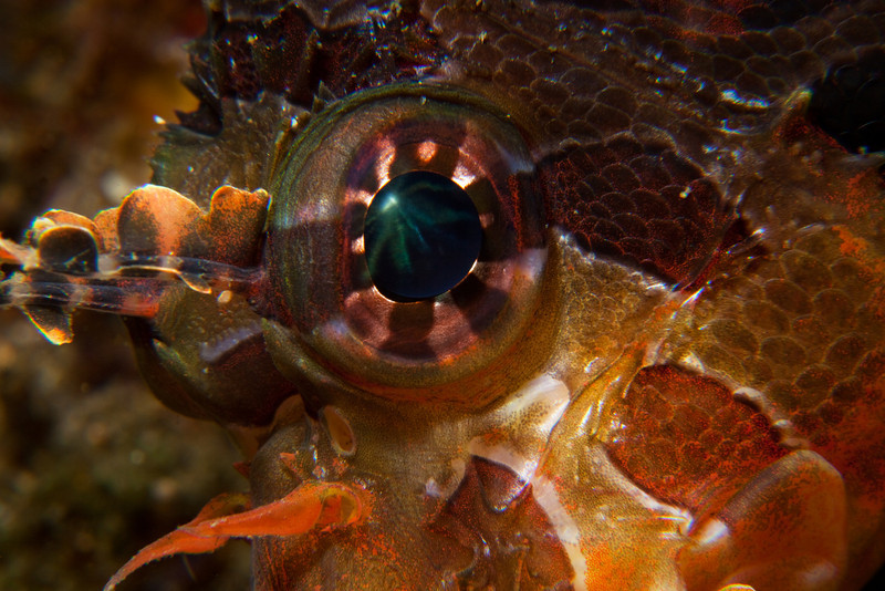 An eye of a Lionfish