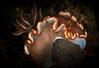 Nudibranch-Glossodoris Rufomarginata