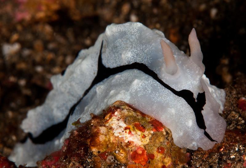 Nudibranch-Reticulidia Fungia