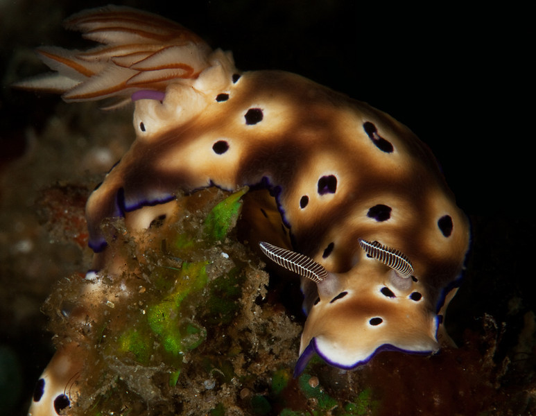 Nudibranch-Chromodoris Leopardus