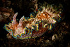nudibranch-Glossodoris Cincta