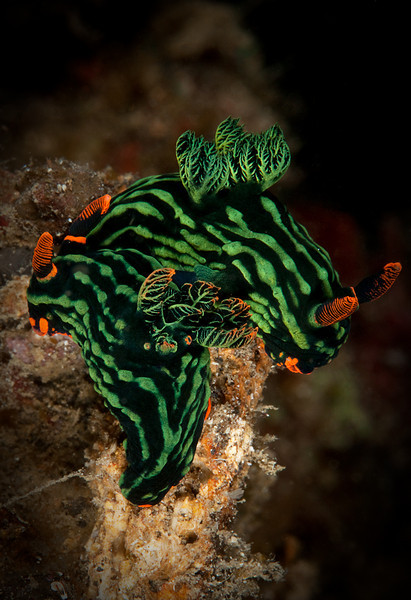 Nudibranch-Pair of Nembrotha Kubaryana