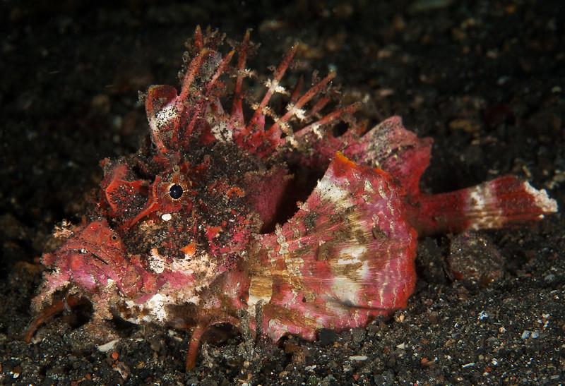 Spiny  Devifish