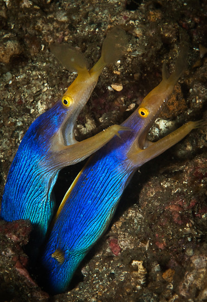 Pair of Blue Ribbon Eel