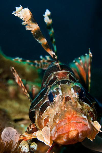 Longspine Lionfish