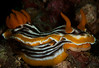 Nudibranch-Chromodoris Strigata