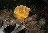 Filefish-Juvenile