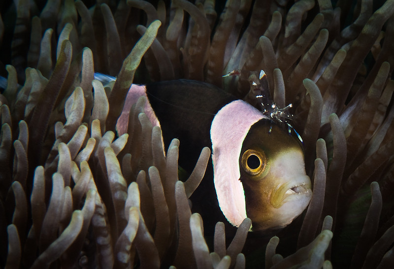Anemonefish and Commensal Shrimp