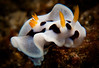 Nudibranch-Chromodoris Dianae