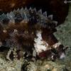 P3299342_edited-2Barchin_Scorpionfish_Sebastapistes_strongia