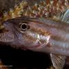 P3299306_edited-2TigerCardinalfish_Cheilodipterus_macrodon