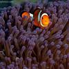 P3258081_edited-2FClownAnemoneFish