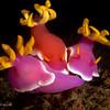 P3299202_edited-2Hypselodoris_Bullocki
