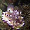 CA244624_edited-2MexicchromisMultituberculata