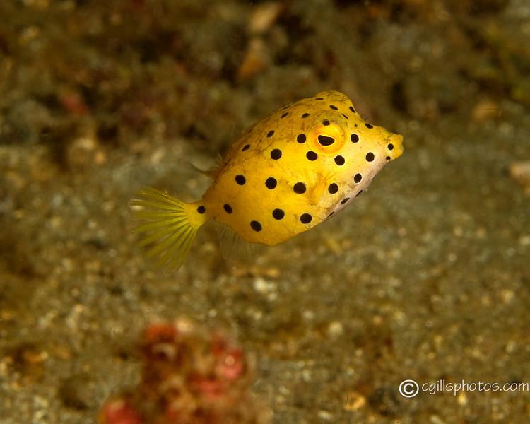 P3258044_edited-2Juve YellowBoxFish
