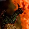 P3268488_edited-2Nembrotha_kubaryana