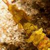 CA254654_edited-2Halicampus_macrorhynchus_WingedPipefish