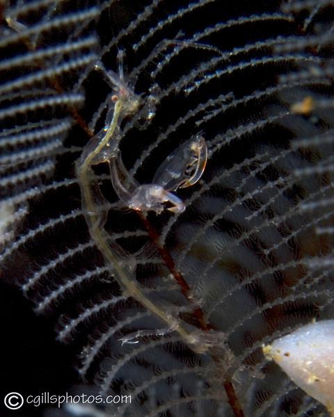 P3299515_edited-2Ghost Shrimp_Caprellid