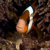 P3299439_edited-2AnemoneFish