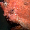 CA244581_edited-2GiantFrogfish