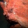 CA244581_edited-2GiantFrogfish