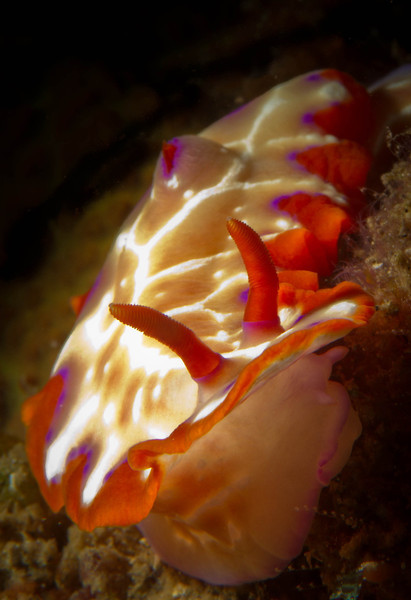 Nudibranch-Fish Net Hypselodoris