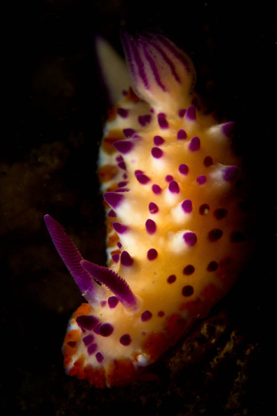 Nudibranch-Mexichromis Multituberculata