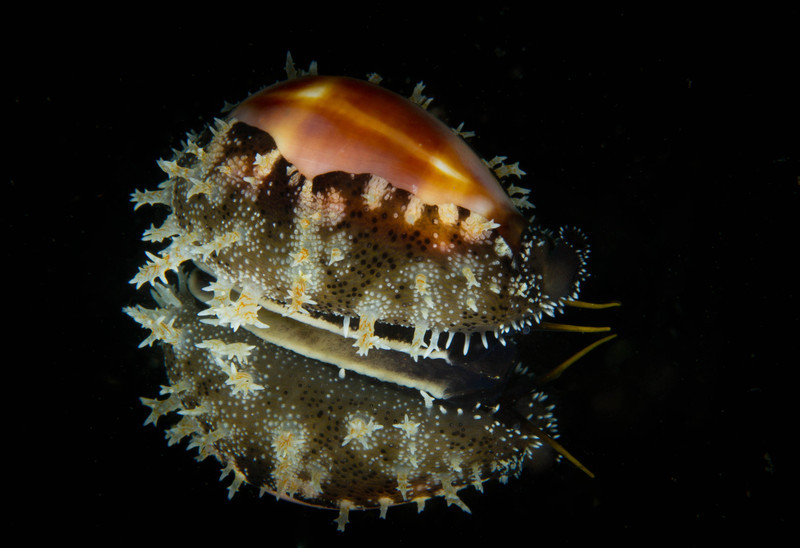Onyx Cowrie -mirror reflection