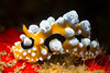 Nudibranch-Phylidia Ocallata