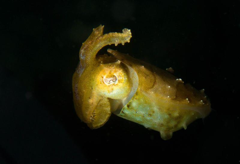 Mourning Cuttlefish