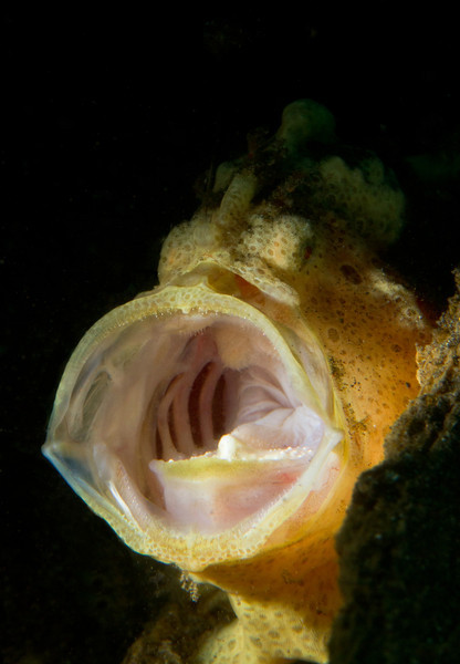 Painted Frogfish yawning-snoot lighting