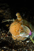 Keel Tail Mantis Shrimp with eggs
