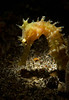 Thorny Seahorse-snoot lighting