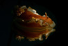 Nudibranch-Glossodoris Rufomarginata-mirror reflection,snoot lighting
