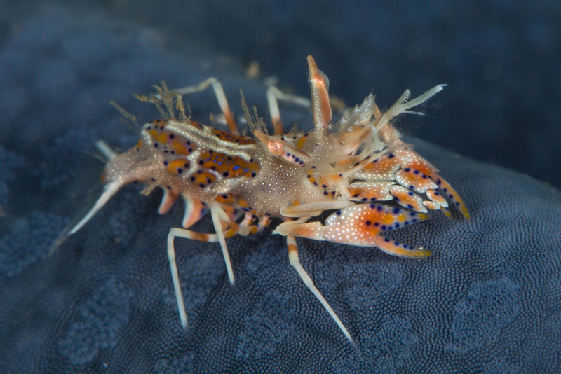 Spiny Tiger Shrimp on Blue Sea Star.