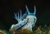 Chromodoris Williani