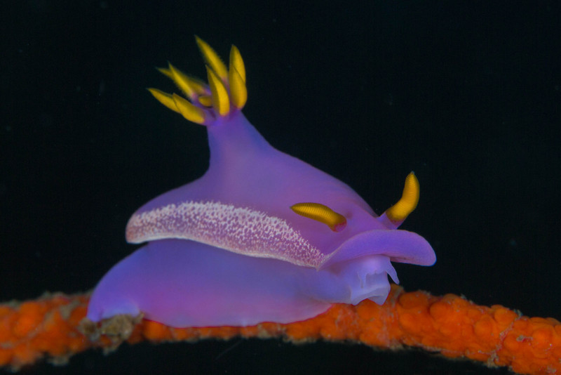 Nudibranch Hypselodoris Apolegma.