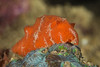 Red Platydoris-Platydoris sanguinea.