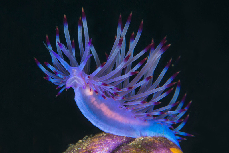 Nudibranch Redline Flabellina