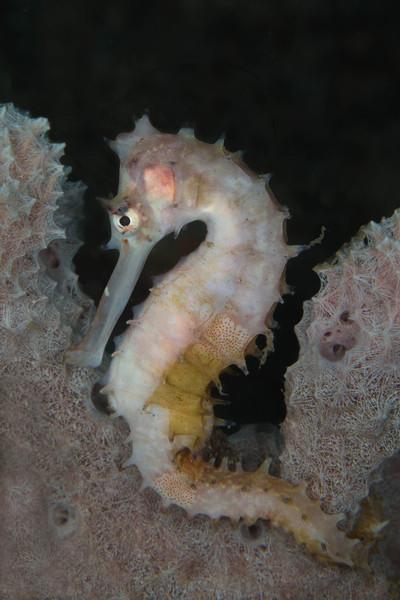 Thorny Seahorse.