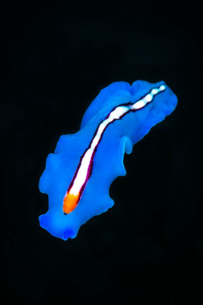 Racing Stripe Flatworm