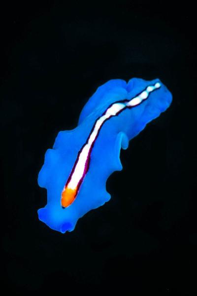 Racing Stripe Flatworm