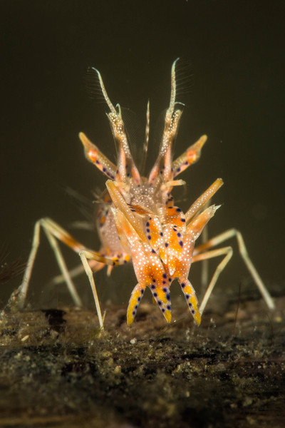 SpinyTiger Shrimp