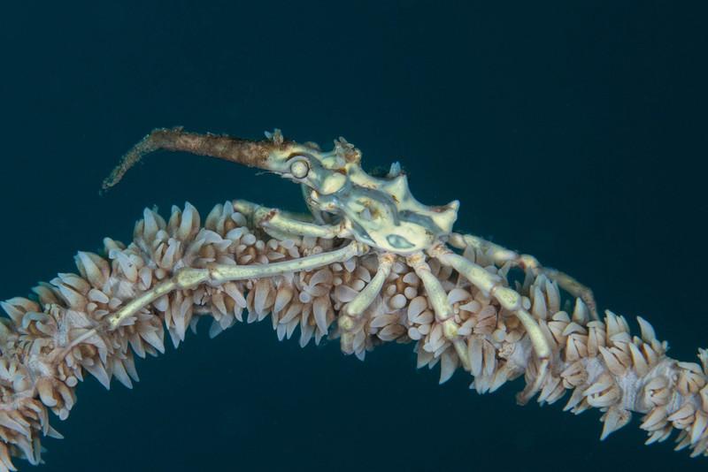 Wire Coralm Crab