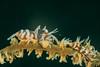 Zanzibar Whip Coral Shrimp.