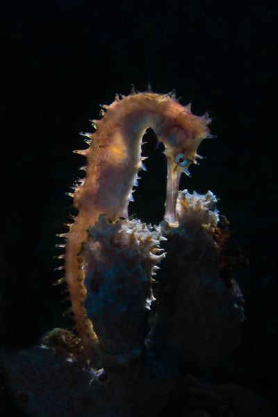 Thorny Seahorse backlit.
