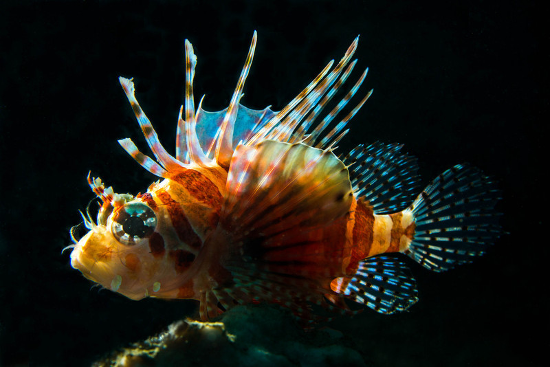 Male Zebra Lionfish backlit.