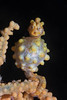 Pregnant Yellow Bargibanti Pygmy Seahorse
